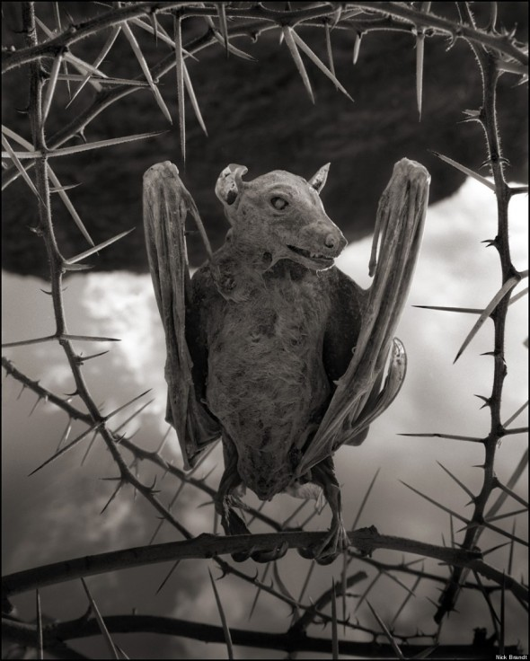 1 NICK BRANDT CALCIFIED-BAT-900